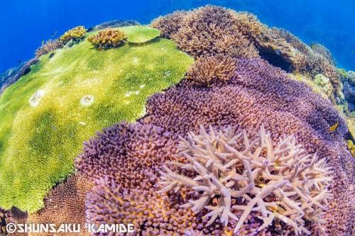 リーフの上を覆いつくすサンゴの群生(撮影ポイント:オリーブ)