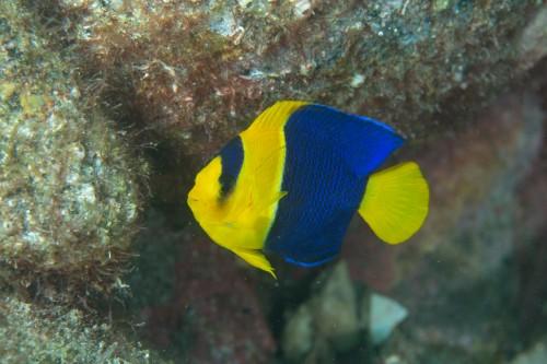 体力が美しいソメワケヤッコの幼魚(撮影/堀口和重、撮影地/大瀬崎)
