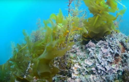 岩の上に生えている海藻があったらぜひ探してみよう(YouTube「うみさちTV」より)