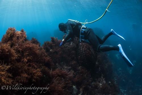 テングサが大量に入ったスカリを腰に巻いて水中で機敏に動く桧山さん
