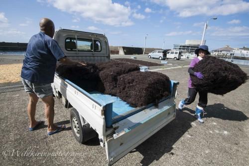 ブロックにしたテングサを出荷するのに、軽トラックに積み込んでいく