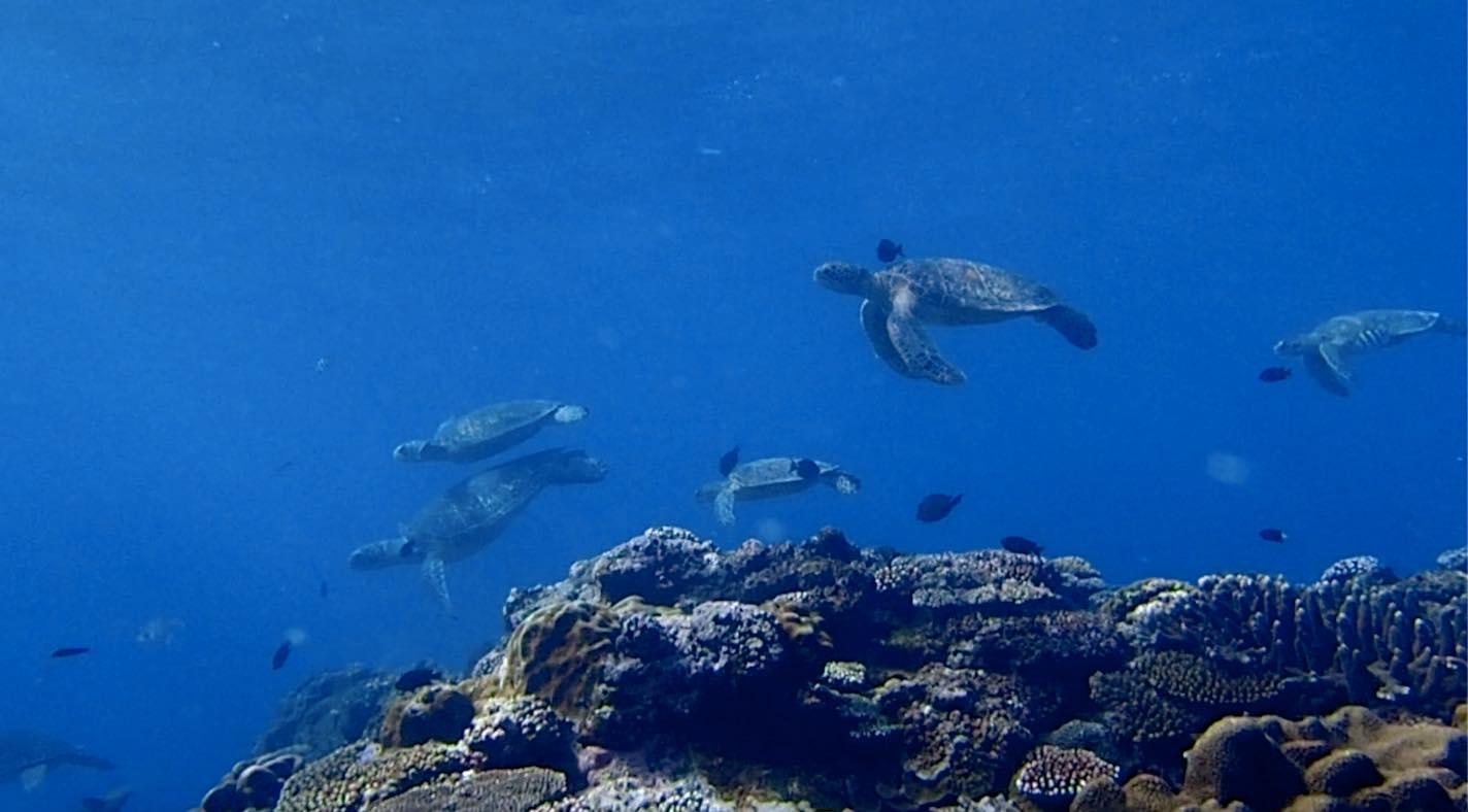 【動画あり】ウミガメの集団クリーニングシーンの動画が癒される〜奄美大島・北部〜