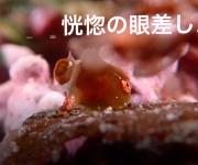 """次の記事: 【動画】恍惚の眼差し。サクラダンゴウオの超珍しい""""ウ○コシー"""