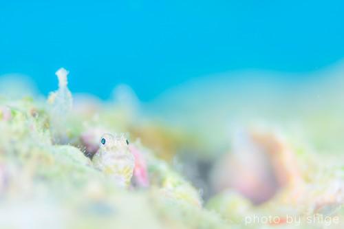 水深3mにいたヤイトギンポは目がキョロキョロかわいい