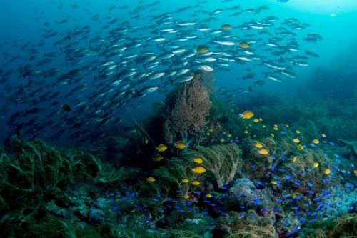 ソフトコーラルの周りには鮮やかな魚たち、その上をイサキが通過する(撮影/堀口和重)