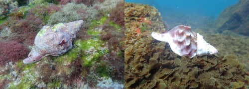 左が通常サイトのボウシュウボラ、右が酸性化サイトのボウシュウボラ(撮影者:Benjamin Harvey)
