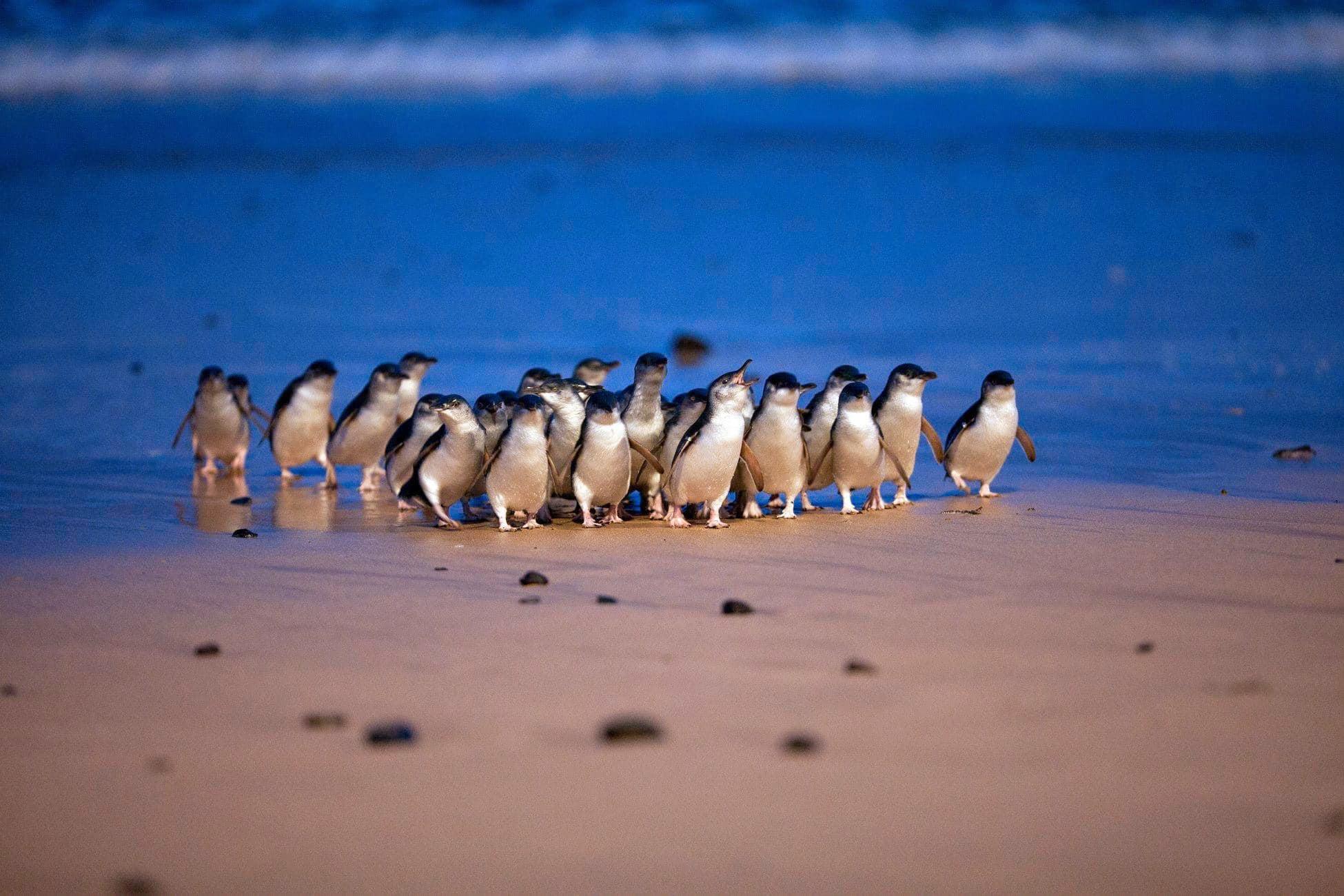 オーストラリア・フィリップ島より、ペンギンパレードの様子を生配信
