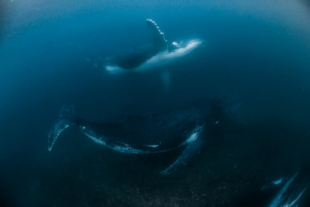 「ザトウクジラと泳ぐツアー in コーラルベイ」、その全貌とは?