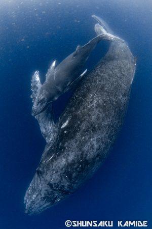 寄り添って泳ぐ親子クジラ