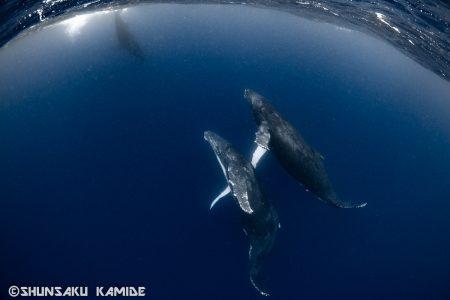 手を繋いでいるような親子クジラ