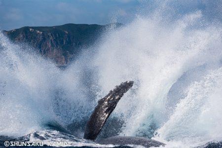 ザトウクジラのひれと飛沫