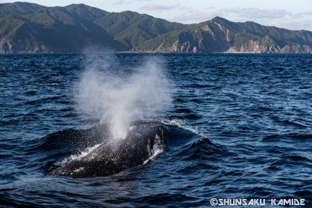 島とブローするクジラ
