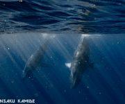 次の記事: 奄美大島のホエールウォッチング&スイム2021年。親子クジラ