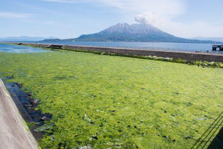 水面に広がる海藻