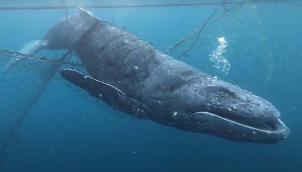 網に絡まった子クジラをダイバーが救出、クジラ仲間と無事合流