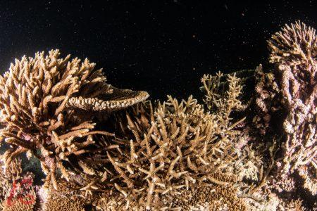 写真中央のミドリイシサンゴの仲間から産卵が確認された