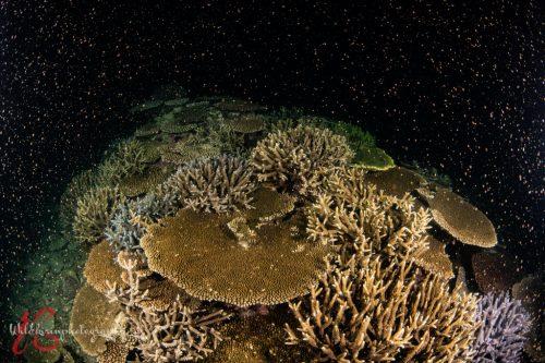 2021年4月末に自然写真家・関戸紀倫さんが捉えた石垣島のサンゴの産卵
