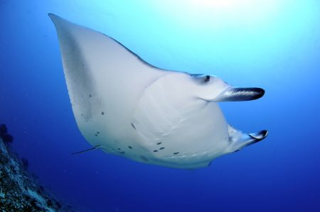 Reef Manta Ray Cleaning C, Mudakan Kandu, Addu Atoll, Maldives Guy Stevens Manta Trust 2013
