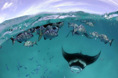 Reef Manta Ray & Rudderfish Split, Hanifaru Bay, Baa Atoll, Maldives_Guy Stevens, Manta Trust 2009a