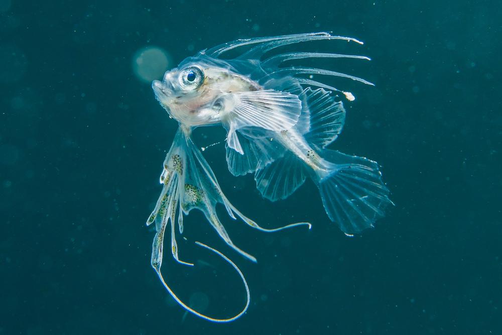 こちらがキアンコウの幼魚