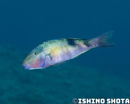 素早く泳ぐときは鰭とヒゲを折りたたむ
