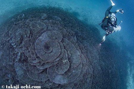 オオスリバチサンゴ