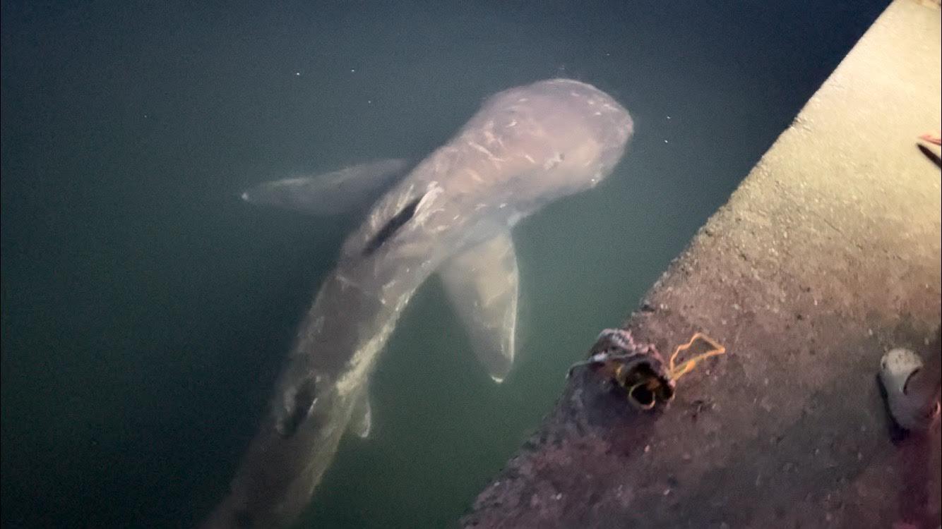<貴重映像入手>メガマウスザメと見られる巨大ザメが千葉・館山港に現る!