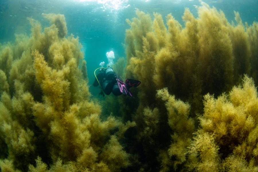 伊豆の海に現れた海藻の森。東京から日帰りダイビングで西伊豆・井田へ!