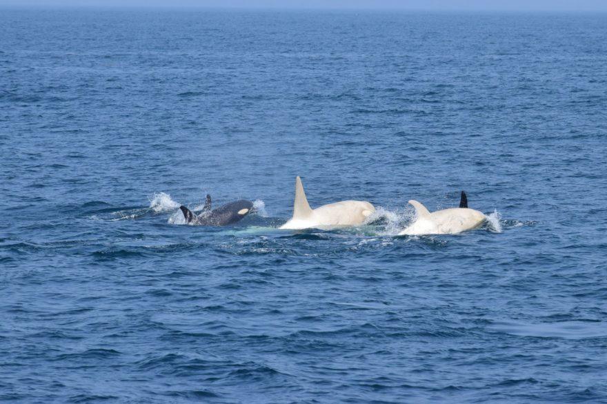世界でも珍しい白いシャチ2頭が北海道知床の羅臼沖に現る、貴重映像も入手