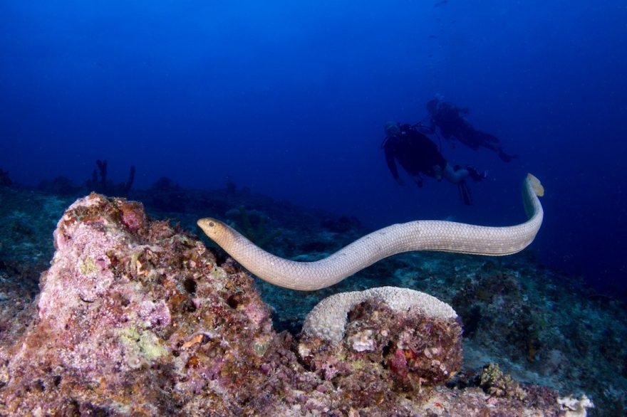 ダイバーを襲うオリーブウミヘビ