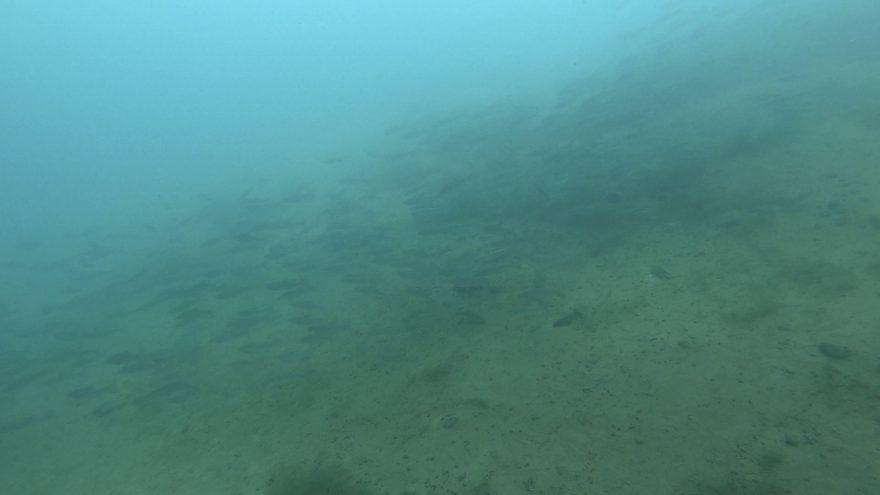 群れで回遊しているウグイ…。撮影者(セリーナ)の技量の問題もあるが、透視度のせいにしておこう。