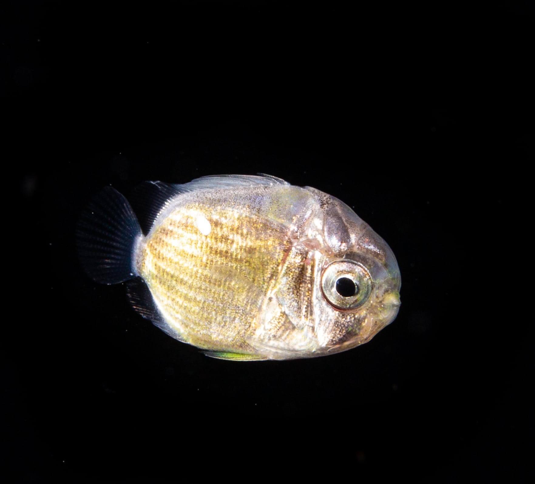 トリクチス(チョウチョウウオ科の稚魚) Photo by Yoichi Takigawa