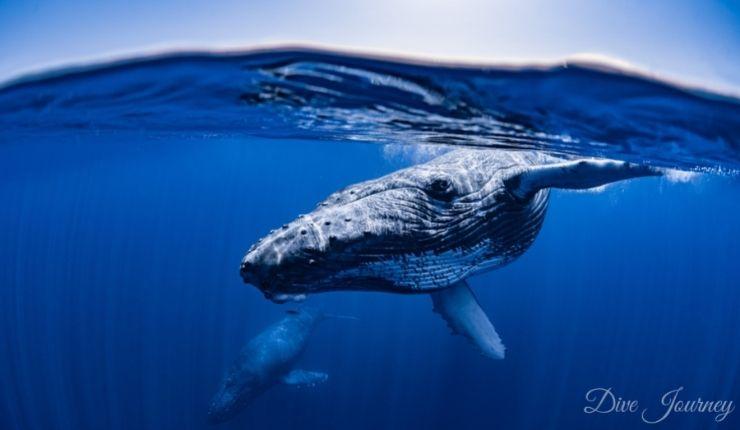 上出俊作氏 × ダイブジャー二ー、「奄美・沖縄 ザトウクジラ写真展」が開催中