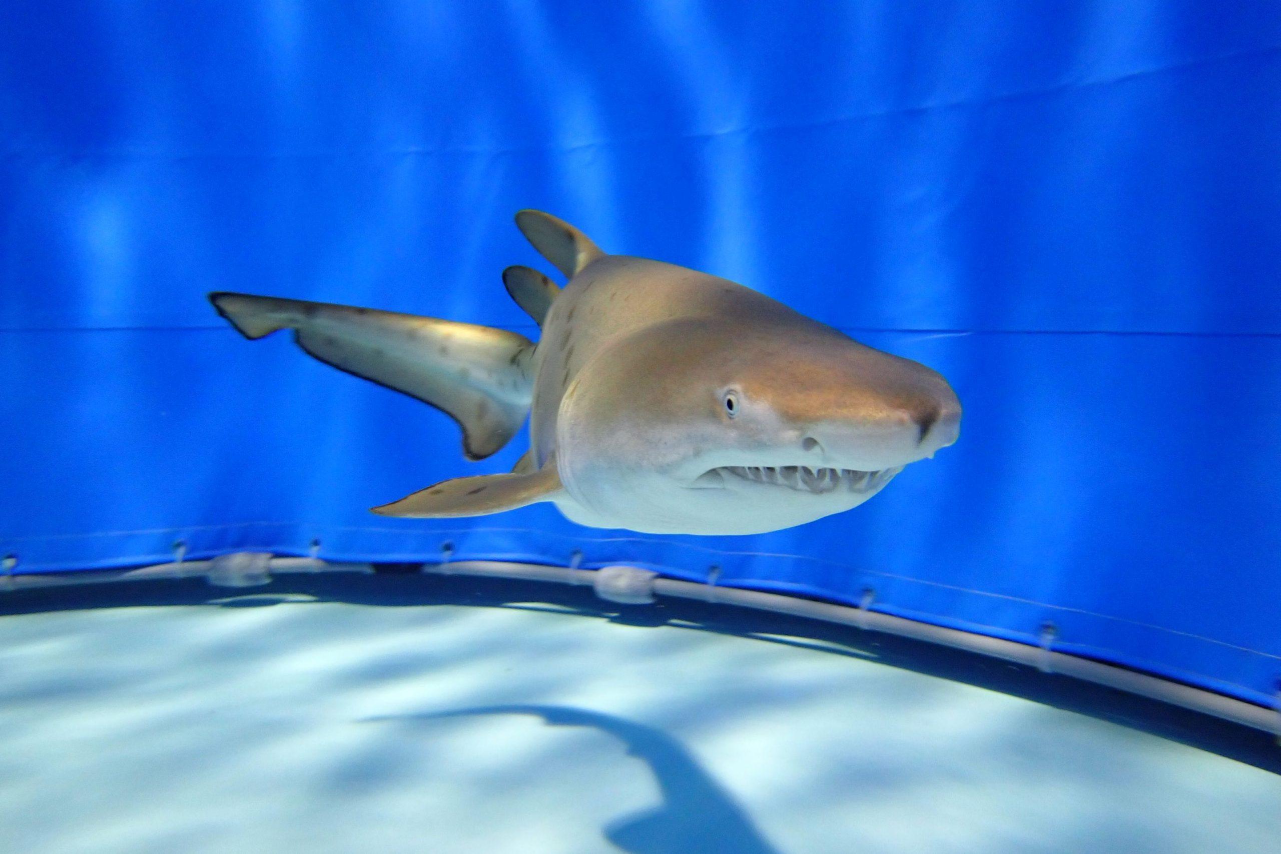 日本初、アクアワールド大洗水族館でシロワニの赤ちゃん展示開始